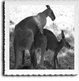 Kangaroos-FINAL